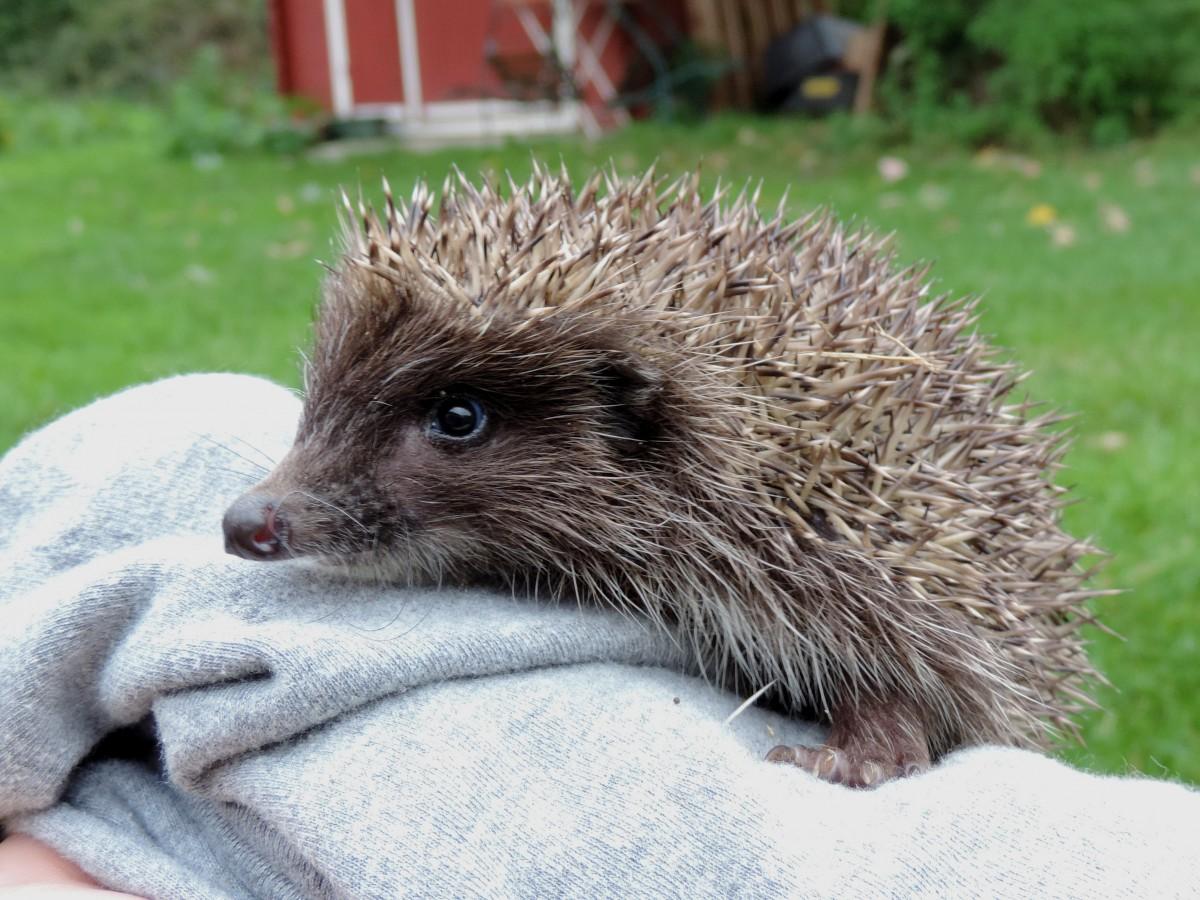 Young hedgehog 2014